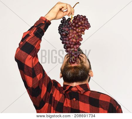 Winegrower With His Face Up Eats Cluster Of Grapes