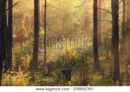 Sunbeams in forest close-up. Beautiful autumn sunlight between trees.