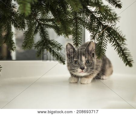 Cute little playful cat sits on a window sill at the window under the spruce branches.