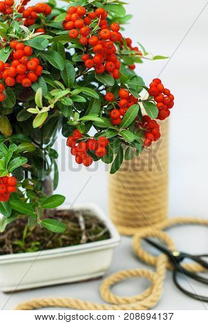 Bonsai red ashberry with bright rowan berries on a light gray background and garden tools.