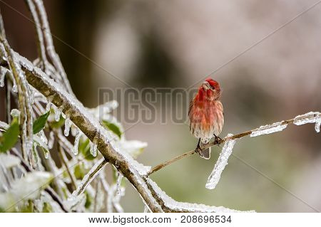 A bird (house finch) perching on an icy branch
