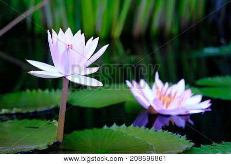 A pair of water lilies surrounded by lily pads