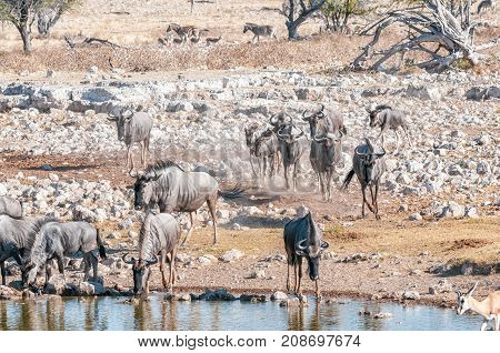Blue wildebeest Connochaetes taurinus also called a white-bearded wildebeest or brindled gnu drinking water at a waterhole in Northern Namibia