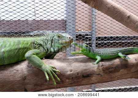 A iguana or green iguana with crocodile toy in a cage