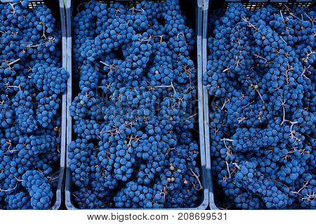 Blue Grapes, Background Of Freshly Picked Grapes, Wine Grapes. Dark Wine Grapes Background, Grape