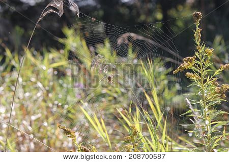Spider web with spider, in field, strung between plants