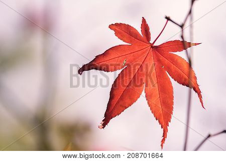 Closeup of single autumn Maple leaf in Autumn woodland