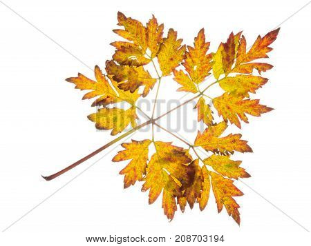 yellow brown oranjed autumn beautiful leaf on white isolated background