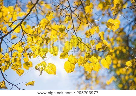 yellow autumn leaves on a tree branch against the sky