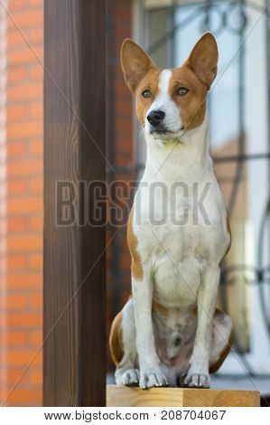 Royal basenji dog sitting concentrated while guarding the house it lives