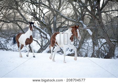 Two piebald horses playing on snow in cold winter