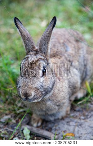 Close up of a Mountain Cottontail rabbit or Nuttall's cottontail (Sylvilagus nuttallii) spotted in the Canadian wild. It is a species of mammal in the family Leporida and found only in Canada and the United States.