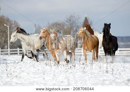 Herd of colorful horses -black appaloosa palomino bay- running through a snowy field gallop
