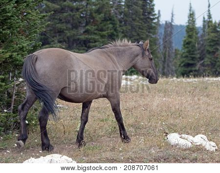 Gray Silver Grulla Mare Wild Horse Walking In The Pryor Mountains Wild Horse Range In Montana United