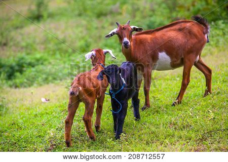 Young lambs on green grass are tied to each other next to dry branches and look at the camera. Black looks at the camera. Animals on the Gili Trawangan island, Indonesia.