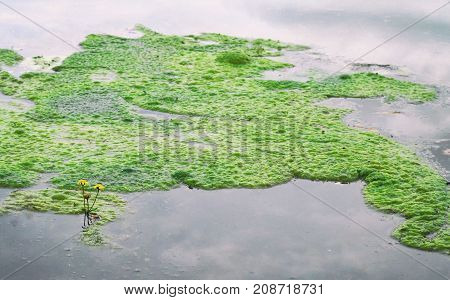 Green algae on the lake water surface