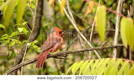 A lone male cardinal in the woods