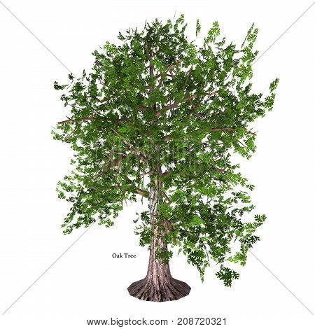 Oak Tree with Font 3d illustration - The Oak tree comes in 600 different species as a deciduous or evergreen variety and develops an acorn fruit nut.
