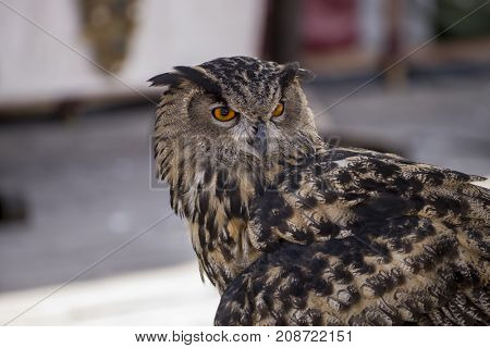 Predator, beautiful owl in a medieval fair with exhibition of birds of prey