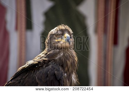 Rapacious, beautiful eagle in a display of birds of prey