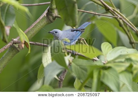 Blue Gray Tanager in the Trees near Arenal Volcano National Park in Costa Rica