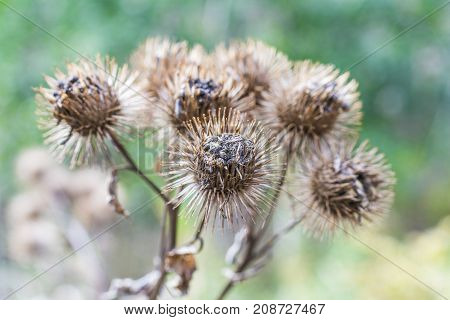 Bunch Of Spiky Burrs In Autumn Ready To Prickle And Stick