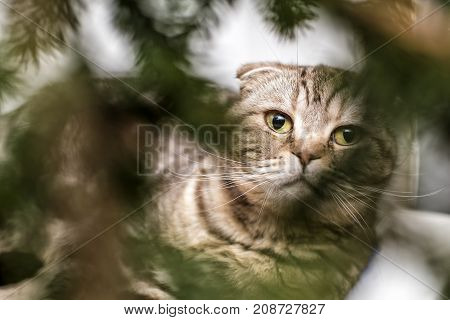 A beautiful Scottish Fold cat with a gaze in the blurry Christmas tree branches. Close-up.