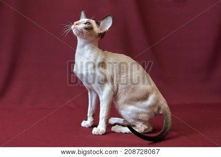Cat on podium in cats show posing