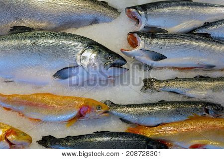 Salmon Coppoer River King and Sockeye Fish on ice in public market closeup
