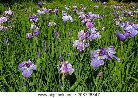 Purple Siberian Iris Flowers bud cluster in bloom by the Bridge in Japanese Garden in late Spring early Summer
