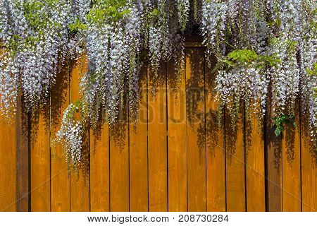 Wisteria flowers in full bloom over wood fence in backyard of house in residential neighborhood