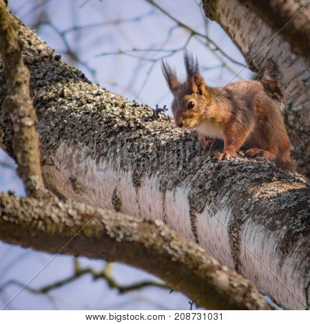 Squirrel sitting on a Birch branch in Square format