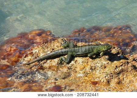 The green iguana is an invasive species commonly seen in the Florida Keys.