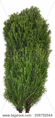 green small thuja isolated on white background