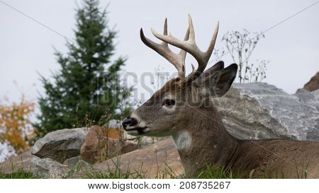 A resting male deer in the fall season