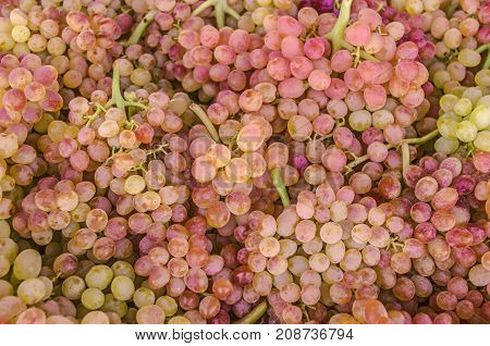 Background of bunch of pink small seedless grapes of sultana