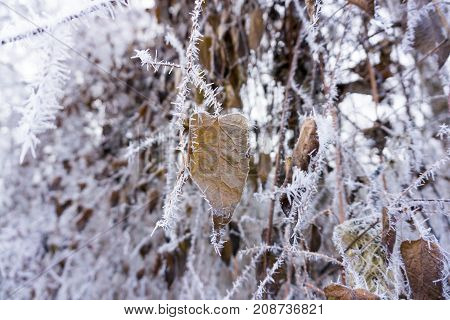 Close-up of beautiful little Ice Crystals on a brown Leaf. View on Hoar Frost on Leaves. Ice Crystals on Twigs. Hoarfrost and Ice Crystals. Winter and Nature Backgrounds.