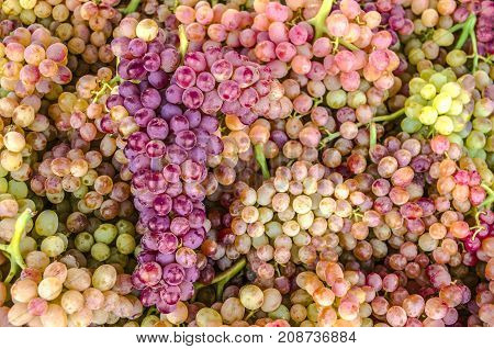 Background of clusters with berries of purple and pink small seedless grapes of sultana