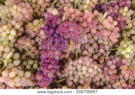 Bunch of purple grapes lies in the background of pink grapes of the Sultan