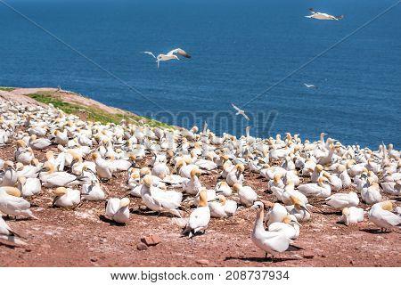 Overlook Of White Gannet Bird Colony, Flying Nesting On Cliff On Bonaventure Island In Perce, Quebec