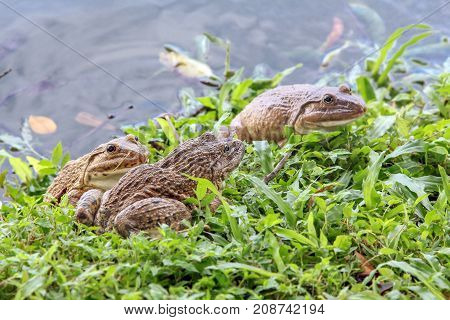 Group of marsh frogs sitting on a grass along the lake edible frog nature amphibian wildlife.