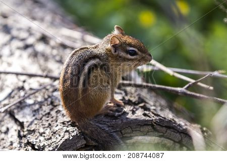 Cute chipmunk  sitting on a tree in the forest