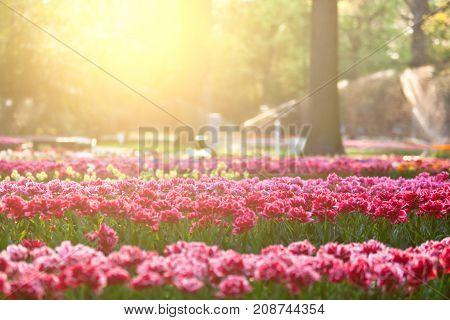 Tulips in sunset light. Bright flowerbed in Keukenhof - famous Holland spring flower park. Small GRIP shot