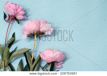 Three Blooming Flowers Of Pions Gently Pink Color Lie On The Blue Wrapping Paper