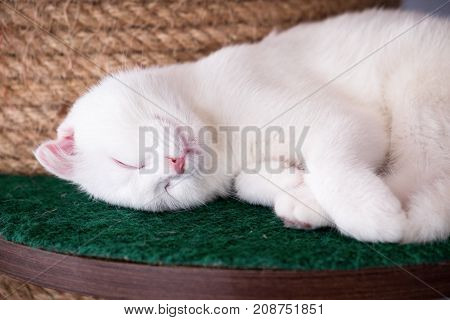 Close up White British shorthair cat sleeping on a Cat Tree in coffee shop