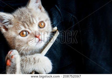 Skottish-straity little cute kitten in a denim bag on a dark blue background