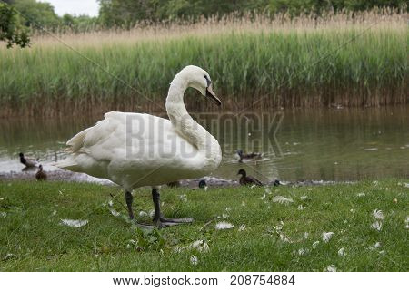 White Swan Out Of The Water