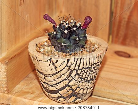 Cactus with Purple Flowers in a Ceramic Flowerpot Isolated on Wooden Background Clipping Path