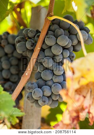 ripe red grape clusters on the vine