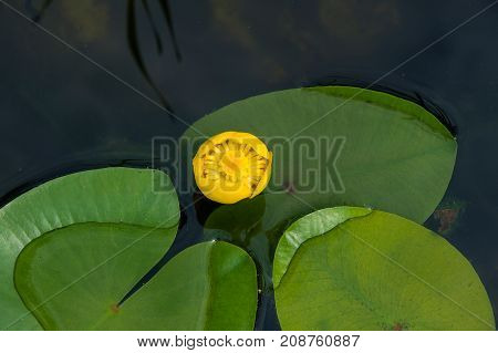 Yellow flower nuphar lutea (water-lily brandy-bottle cow lily) in a pond